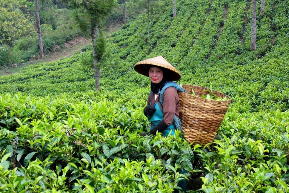 ava-tea-plantation